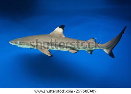 Carcharhinus melanopterus -  blacktip reef shark - saltwater fish - stock photo