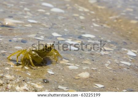 Carcinus maenas a common littoral crab. AKA shore crab, green crab or European green crab. Dwelling in the sands at the Obidos Lagoon, Foz do Arelho, Silver coast, Portugal - stock photo