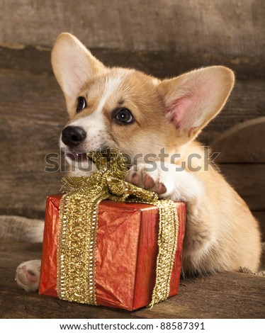 Cardigan Welsh Corgi Dog Breed and New Year's gift in a box with a ribbon - stock photo