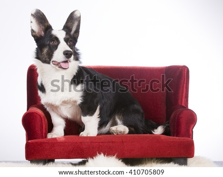 Cardigan Welsh Corgi puppy portrait. The dog sits on a red sofa. The dog breed is a bit rare. Image is taken in a studio.