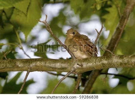 Cardinal birds first flight from nest - stock photo