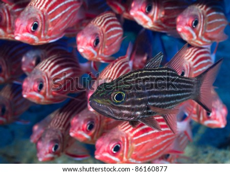 Cardinal fish in front of school of squirrel fishes. - stock photo