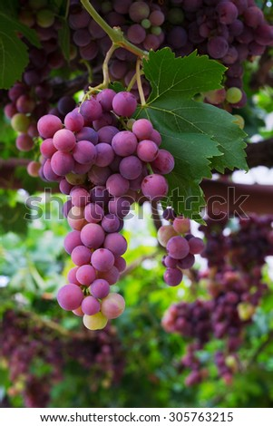 Cardinal grape - stock photo