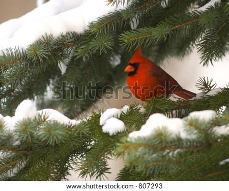 Cardinal in an evergreen - stock photo