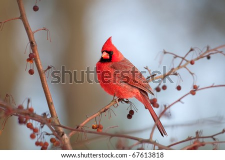 Cardinal perched in a tree on a winter day