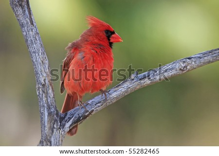 Cardinal - Puffing Up Feathers - Hawaii - stock photo