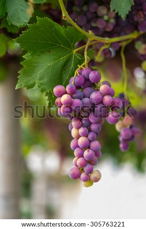 Cardinal red grape  - stock photo