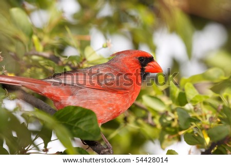 cardinal sitting in a tree and surveying his surroundings - stock photo