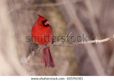 cardinal surveys the forest while perched on a branch; background is shallow focus of the browns and tans of the forest