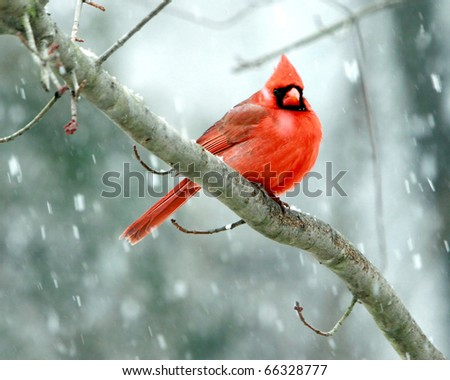 Cardinals in a Late Spring Snowstorm in Nashville Tennessee - stock photo