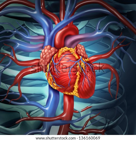 Cardiovascular human heart anatomy from a healthy body as a medical health care symbol for the function of the  inner blood circulation organ. - stock photo
