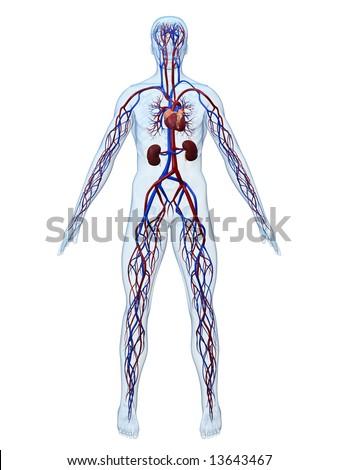 cardiovascular system - stock photo