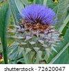Cardoon, Artichoke Thistle (Cynara Cardunculus) - Asteraceae - stock photo