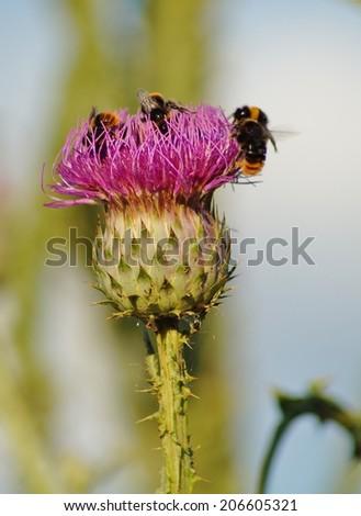 Carduus and bumblebee - thistle garden - ornate  - stock photo