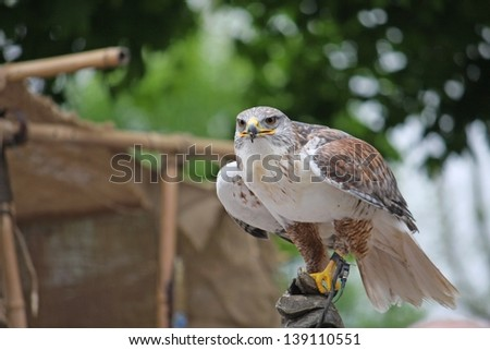 careful look of a hawk looking for a possible prey - stock photo
