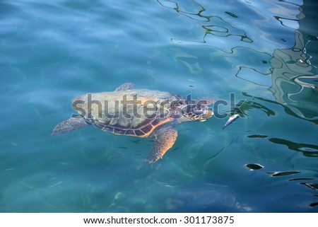 Caretta caretta loggerhead sea turtle feeding on small fish at Limni Keri beach in Zakynthos, Greece. Endangered species.