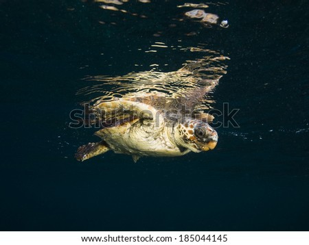 Caretta caretta Turtle swimming at Mediterranean sea