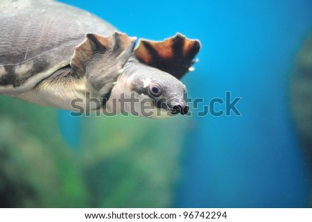 Carettochelys insculpta - stock photo