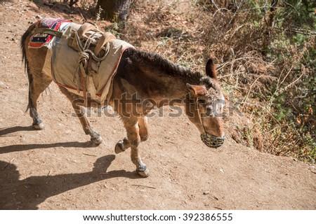 Cargo donkey in mountain area, in Nepal. - stock photo