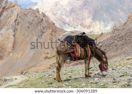 Cargo donkey in mountain area. Pack animal carrying sheep decorated with traditional harness and other gear for transportation of load on wild deserted mountain area - stock photo