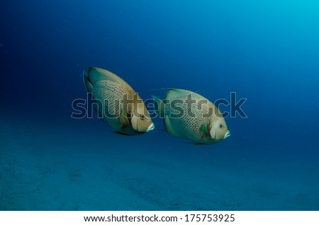 caribbean angelfish - stock photo