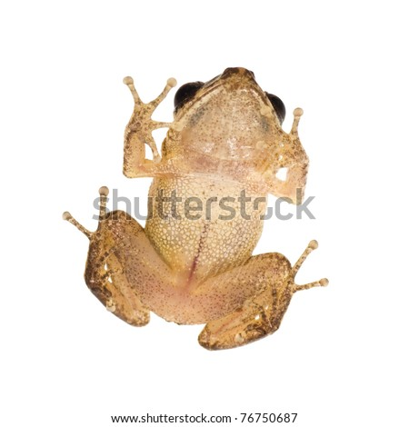Caribbean coqui leaf frog (Eleutherodactylus portoricensis). Symbol of the island of Puerto Rico - stock photo