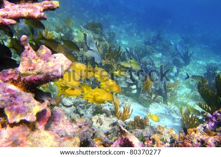 caribbean coral reef in Mayan Riviera with Grunt fish yellow blue stripes [Photo Illustration]