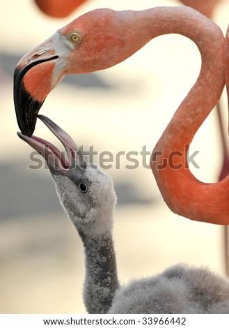 caribbean flamingo adult female feeding baby 1 - stock photo