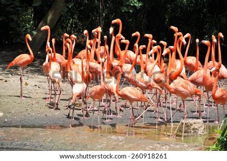 Caribbean flamingos - stock photo