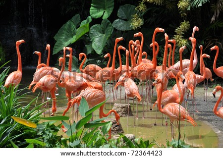 Caribbean flamingos - stock photo