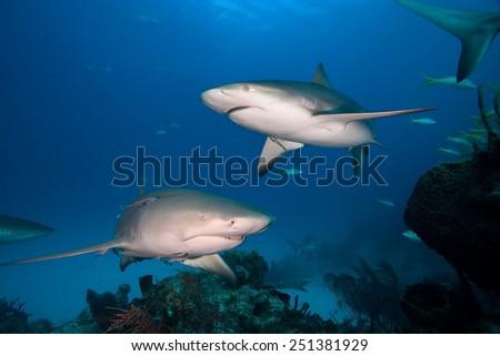 Caribbean reef shark and Lemon shark - stock photo
