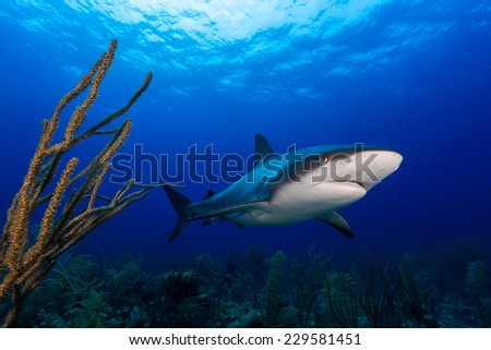 Caribbean reef shark and soft coral in Bahamas island
