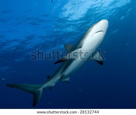 Caribbean Reef Shark (Carcharhinus perezii) - stock photo