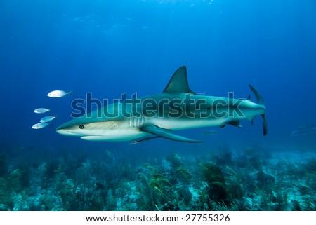 Caribbean Reef Shark (Carcharhinus perezii) and Pilot Jacks - stock photo