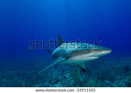 Caribbean Reef Shark (Carcharhinus perezii) with another shark in the distant background - stock photo