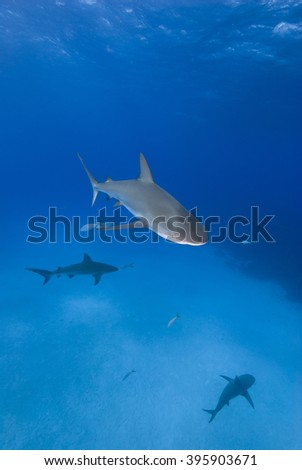 Caribbean reef shark from above in clear blue water with other sharks in the background. - stock photo