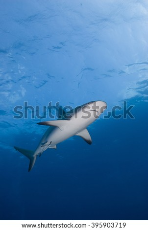 Caribbean reef shark from below in clear blue water with the sun in the background. - stock photo