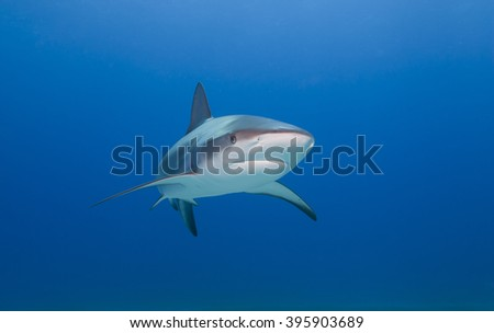 Caribbean reef shark from the front in clear blue water. - stock photo