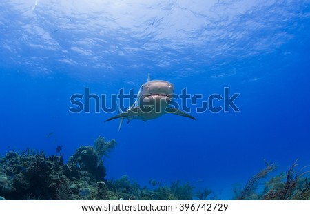 Caribbean reef shark from the front in clear blue water above a reef. - stock photo