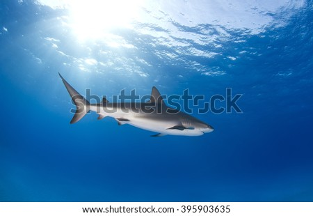 Caribbean reef shark from the side in clear blue water with the sun in the background. - stock photo