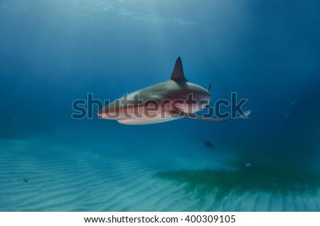 Caribbean Reef Shark in the sun  - stock photo
