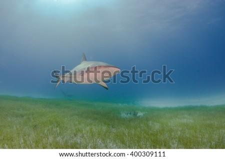 Caribbean Reef Shark in the sunshine  - stock photo