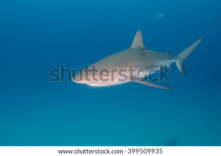 Caribbean Reef Shark in turquoise waters - stock photo