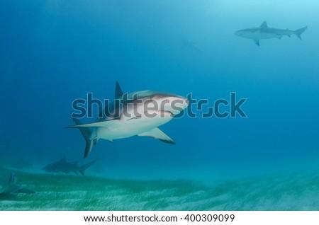 Caribbean Reef Shark over sea grass, Bahamas  - stock photo