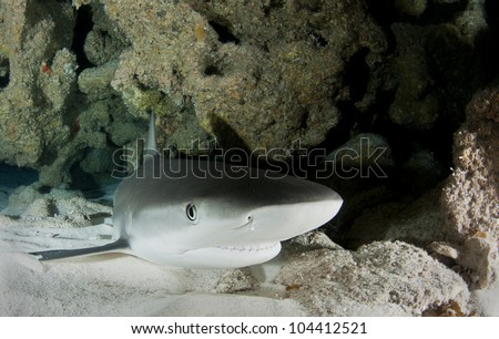 Caribbean reef shark resting on a sandy bottom in a cave - stock photo
