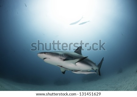 Caribbean reef shark swimming with sun behind - stock photo