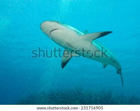 Caribbean reef sharks (Carcharhinus perezi) in a water - stock photo