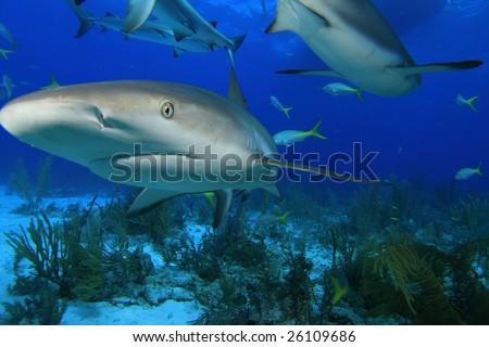 Caribbean Reef Sharks (Carcharhinus perezii) - stock photo