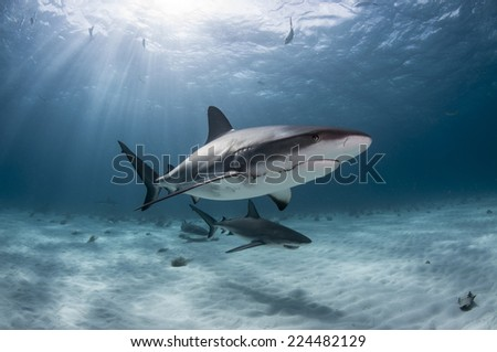 Caribbean Reef Sharks Damaged by Humans - stock photo
