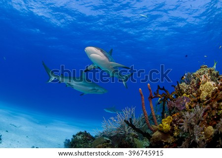 Caribbean reef sharks in clear blue water above colorful reef and corals. - stock photo